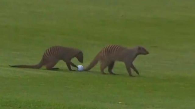 Golf sahasının davetsiz misafirleri